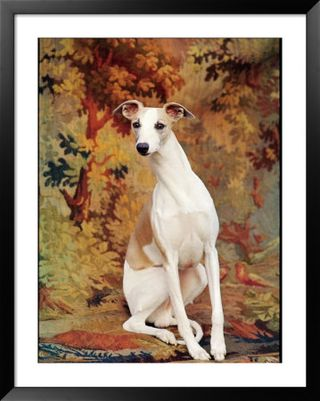 Nina-leen-portrait-of-whippet-chosen-best-in-show-at-the-88th-annual-westminster-kennel-club-dog-show