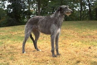 Lg_scottish_deerhound1